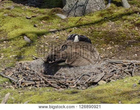 A Canada Goose (Branta canadensis) sits on a nest incubating eggs in the spring.  The nest is on the shore of a lake in York County Pennsylvania USA.