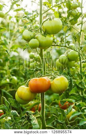 Ripening Green Tomato Clusters In Greenhouse