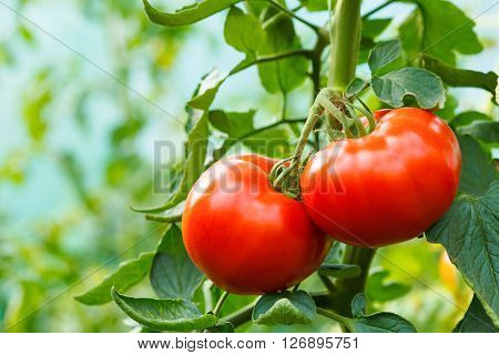 Ripe Tomato Cluster In Greenhouse