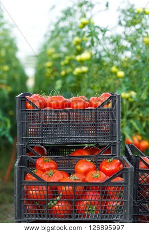 Harvested Tomato In Crates