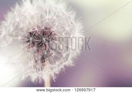 Dandelion on blurred background. Retro style