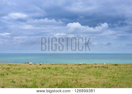 View Of Strait Of Dover (pas De Calais) With Sheep Grazing On A Field