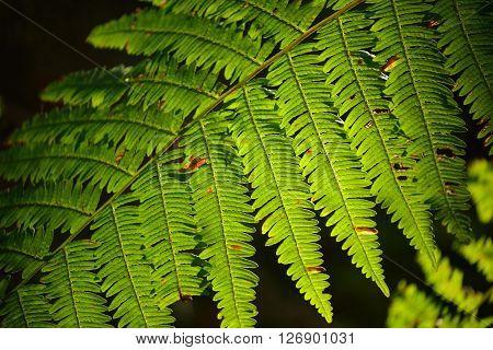 Translucent Lush Green Fern Leaves Illuminated With Sun