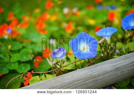 Blue morning glory and orange nasturtium (Tropaeolum) flowers on a wooden fence. Colourful flowerbed.