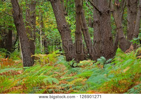 Deciduous autumn oak forest with green ferns