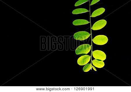Moringa (Other names are Moringa oleifera Lam. MORINGACEAE Futaba kom hammer vegetable hum hum bug bug Hoo) leaves on black background