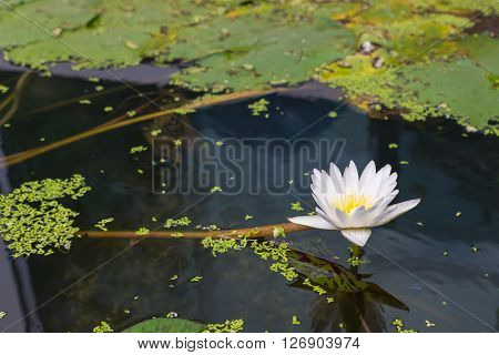 Lotus waterlily flower white color Naturally beautiful flowers in the garden