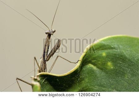 Brown Praying Mantis On Native Plants Asia