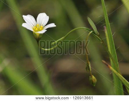 Fairy Flax - Linum catharticum Small grassland flower