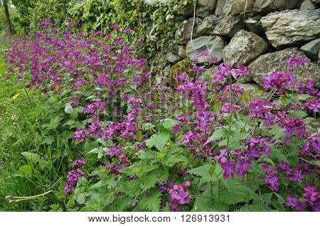 Roadside verge with back of Honesty flowers - Lunaria annua