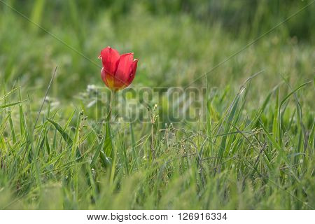 Wild red tulip ( Tulipa schrenkii Tulipa suaveolens ) blooming in steppe