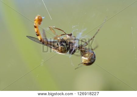 Detail of the syrphid fly in the cobweb - spider and its prey