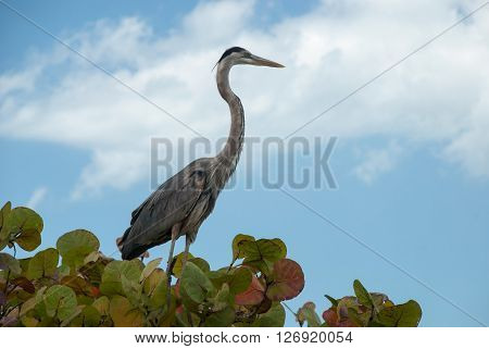 Beautiful Great Blue Heron sitting on a tree branch, Florida, USA