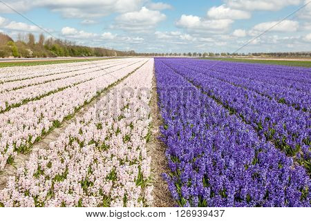 these fields with hyacinths in Amsterdam in Nederland
