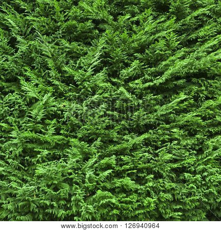 Evergreen juniper (Juniperus). It can be used as a background
