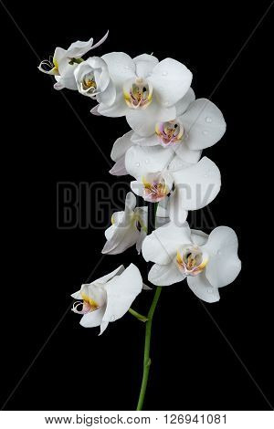 White orchid phalaenopsis flower covered with water drops isolated on a black background