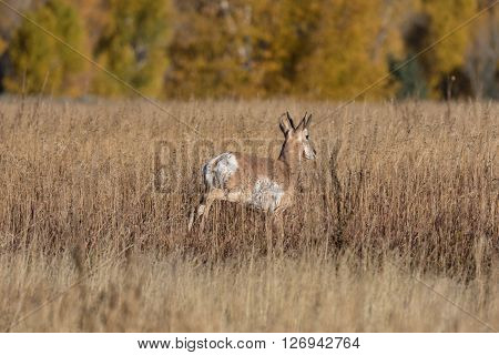 a pronghorn antelope buck on the prairie
