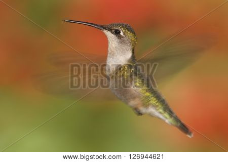 Female Ruby-throated Hummingbird (archilochus colubris) in flight with a colorful background