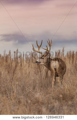 a nice colorado mule deer buck on the eastern plains