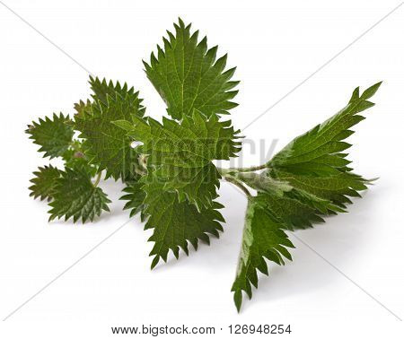 fresh leaves nettle isolated on white background