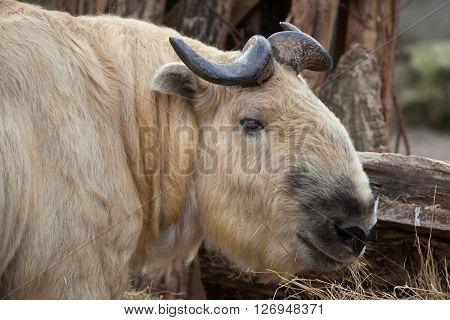 Sichuan takin (Budorcas taxicolor tibetana), also known as the Tibetan takin. Wild life animal.