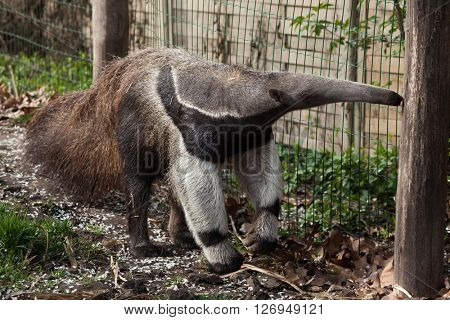Giant anteater (Myrmecophaga tridactyla), also known as the ant bear. Wild life animal.