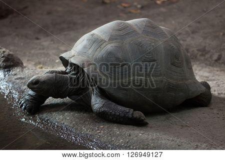 Aldabra giant tortoise (Aldabrachelys gigantea). Wild life animal.