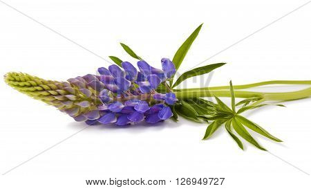 Lupine flower  isolated on a white background