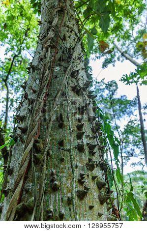 Ceiba or kapok tree (Ceiba Pentandra) Guatemala Central America. Thorny trunk of young Ceiba tree the national tree of Guatemala & most sacred tree of the Maya.