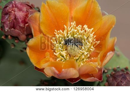 Prickly pear cactus flower containing a local pollinator.