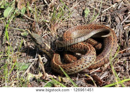 Northwestern Garter Snake Coiled Up on the Ground