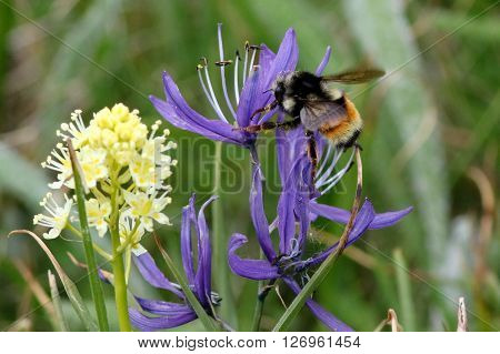 Tricolored Bumblebee feeding on purple Camas flowers