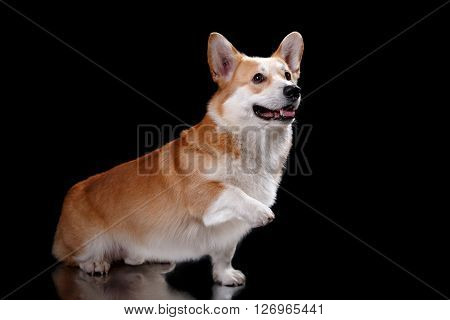Dog Breed Welsh Corgi Pembroke