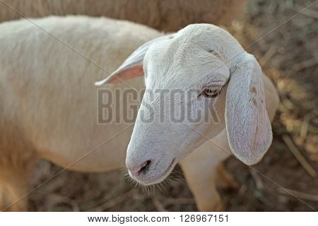 White Lamb In Paddock