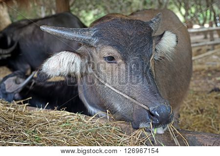 Asian Water Buffalo Or Bubalus Bubalis