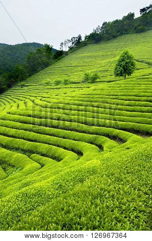 Green tea plantation in South Korea showing bushes and trees on hills
