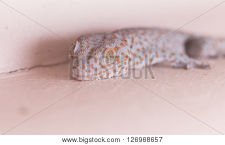 Gecko On The Wall