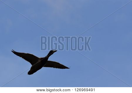 A Mallard Duck in flight across the sky