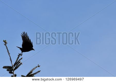 A crow takes flight from a tree top