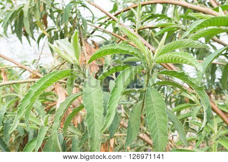 Thai Herb Blumea balsamifera, green plant herbs