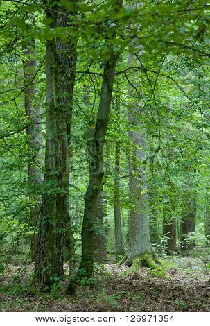 Monumental old trees in summertime Bialowieza Forest stand,Bialowieza Forest,Poland,Europe