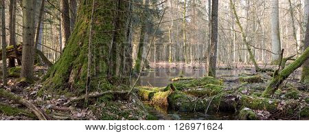 Spring landscape of old natural stand of Bialowieza Forest and water around,Bialowieza Forest,Poland,Europe