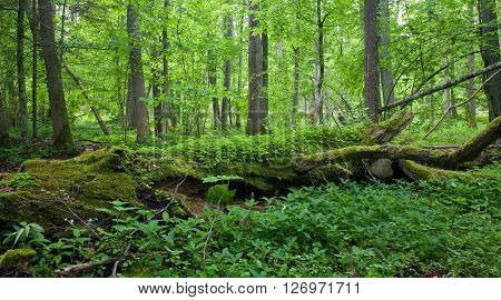 Fresh Deciduous Stand Of Bialowieza Forest In Springtime