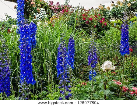 Tall blue Delphinium white eyed flowers (Blue Nile) in a garden