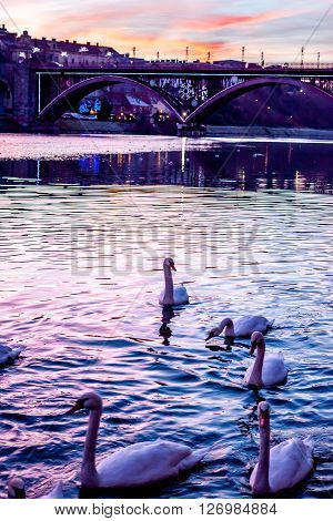 Sunset over the river with swans in Slovenian city Maribor