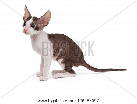 Small kitten Cornish Rex side view isolated on white