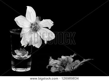 Black and white still-life image of dying dahlia flowers
