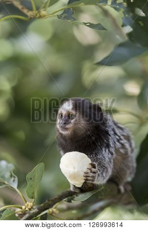 Marmoset monkey sitting on a branch and eating banana
