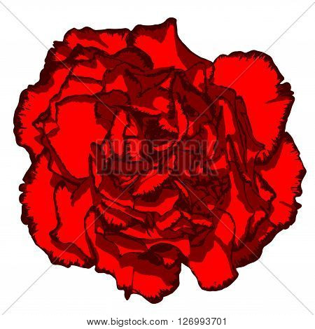 Clove Flower With Red Petals And Vinous Edging. Vector Illustration