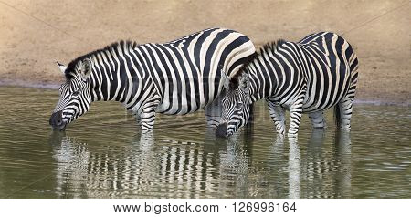 Two zebra standing in water to drink at a small pool